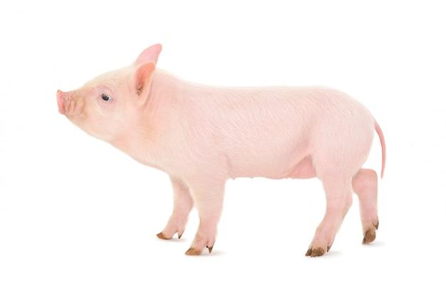 Маленькая розовая свинья на белом