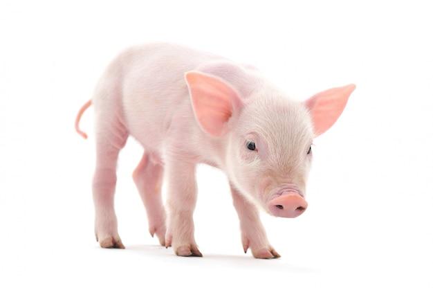 Маленькая розовая свинья