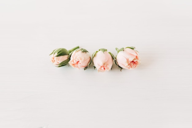Small pink roses with buds.minimalist composition,simple white background.copy space.congratulations and celebration concept.