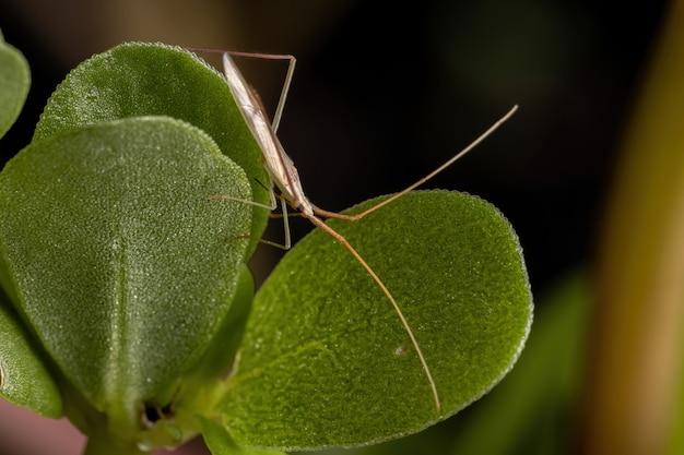 쇠비름 잎에 Tribe Stenodemini의 작은 식물 버그 프리미엄 사진