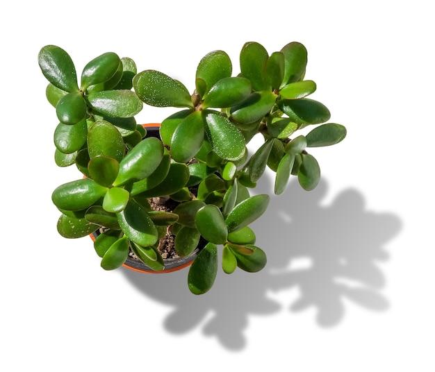 Small plant, crassula ovata, isolated on white background. top view