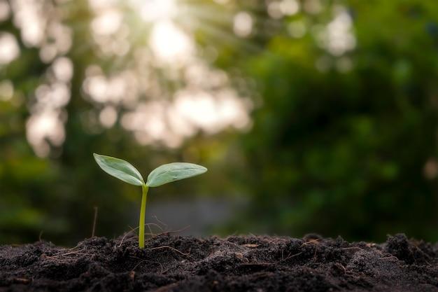 태양 광선으로 흐린 식물 배경으로 토양에서 자라는 작은 식물