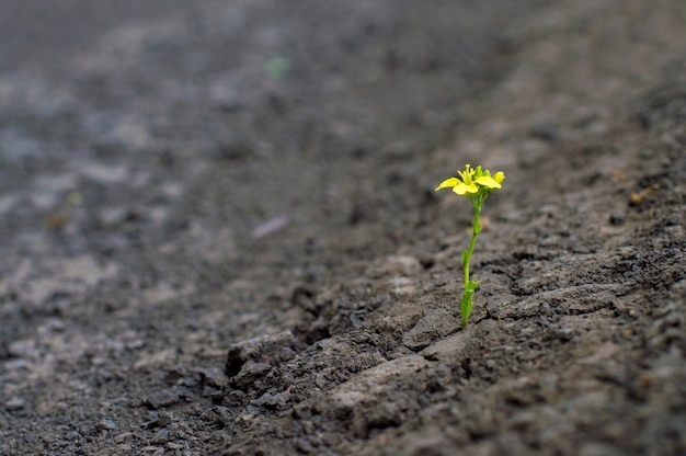 Small plant with a yellow flower, grows in a dried earth, the concept of confrontation