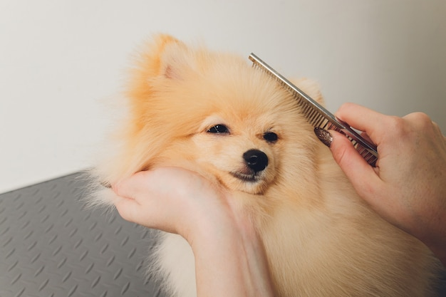 A small pomeranian pinned its ears on top of it a hand with a pair of milling scissors.
