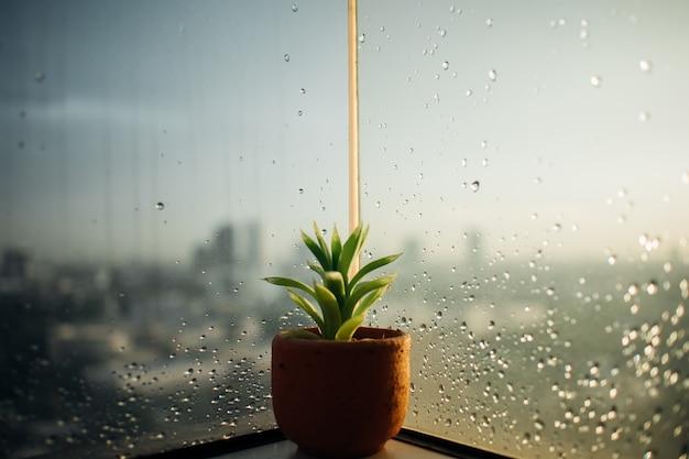 Small pot of haworthia on the rainy windows.