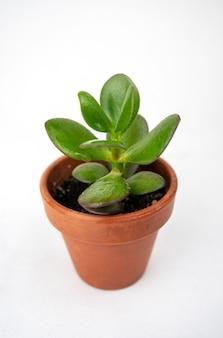 Small pot with crassula or money tree.