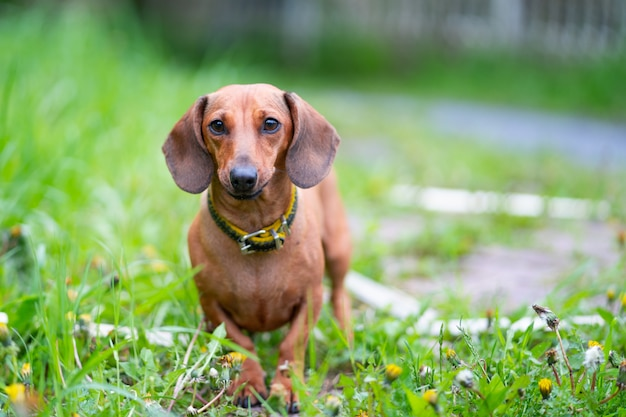 Small pretty brown black dachshund dog standing in beautiful green grass