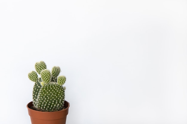 Small prickly pear cactus in brown pot in white background, copy space. front view.