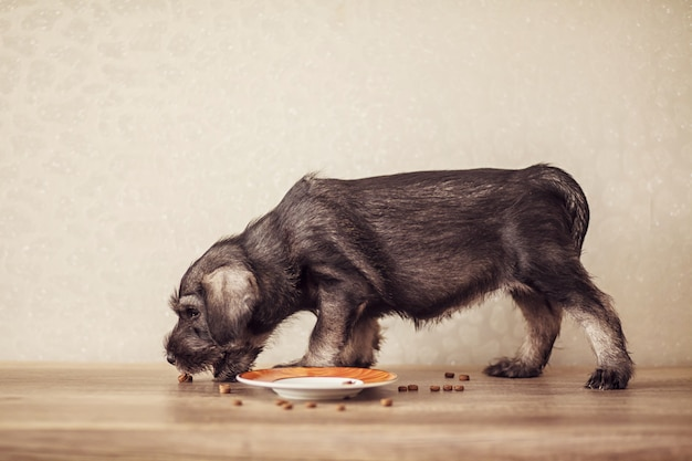 A small puppy of breed schnauzer eats feed. the concept of proper nutrition of dogs
