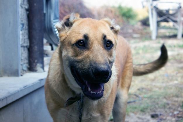 小さな子犬の犬アルメニアウルフハウンド