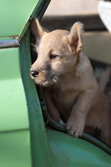 A small puppy looks out of the car.