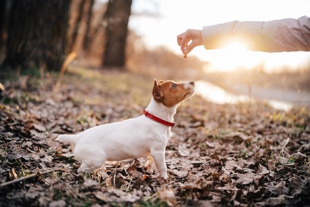 가을에 자연 속에서 산책하는 작은 순종 개는 신선한 공기 우정을 걷는다.