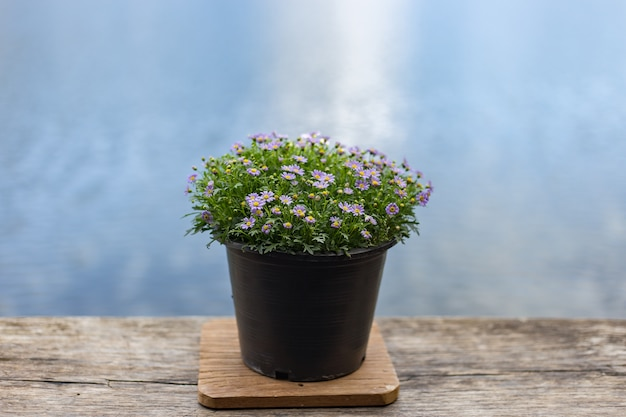 Small purple flowers are in black pots