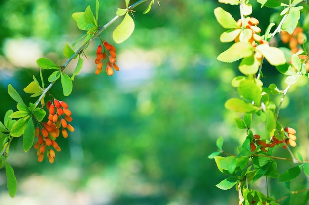 The small red berries of the barberry on the branch.