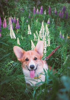 Small red corgi puppy in a field with wild flowers of lupins