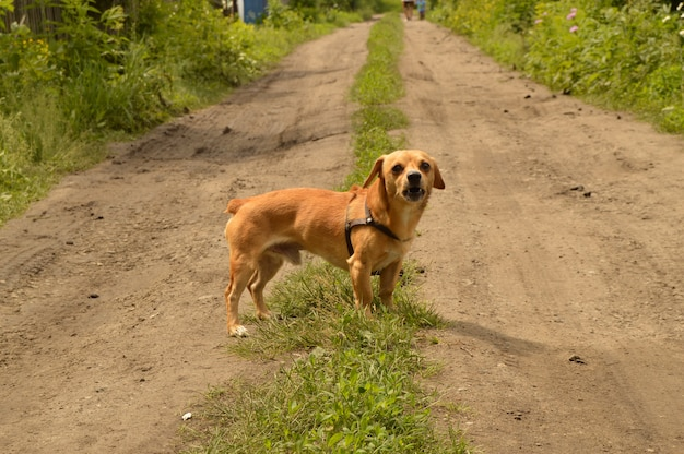 A small red dog stands on the road and looks aggressively.