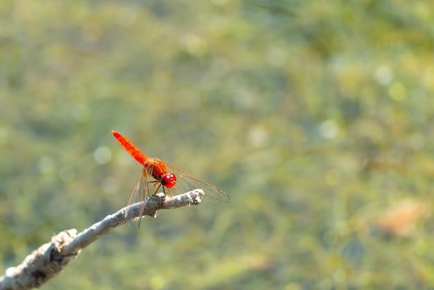 Маленькая красная стрекоза на веточке