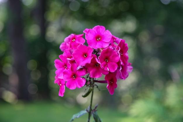 Маленькие красные цветки объединены на одном стебле с размытым зеленым фоном. цвета фуксии. выборочный фокус.