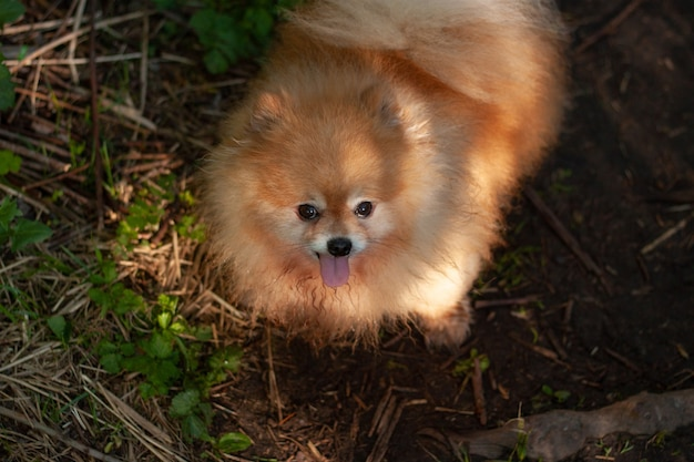 A small red fluffy dog pomeranian stands against the background of grass in the forest, on the muzzle of the shadow of the trees.