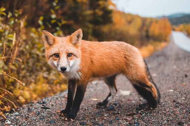 Small red fox alone on road