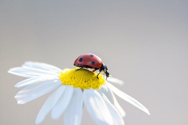 Маленькая красная божья коровка на цветке ромашки крупным планом