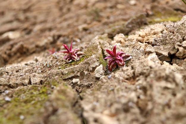 乾燥したひびの入った地面に小さな赤い植物
