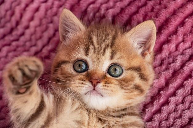 ピンクの背景に小さな赤いぶちの英国の子猫が足を引っ張る
