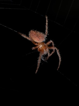 Small red typical orbweaver of the species eriophora edax