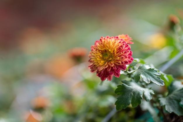 公園内の小さな赤い野生の菊