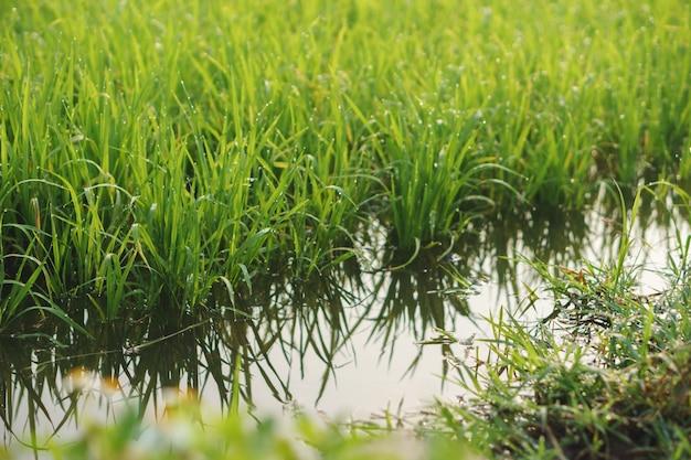 논에서 물이 가득한 작은 쌀 식물