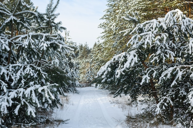 Small road inside beautiful forest with marks from car tires, ride between evergreen fir pin trees at sides covered by heavy snow