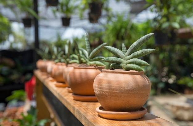 テラコッタポットの小さなsansevieriacylindrica植物