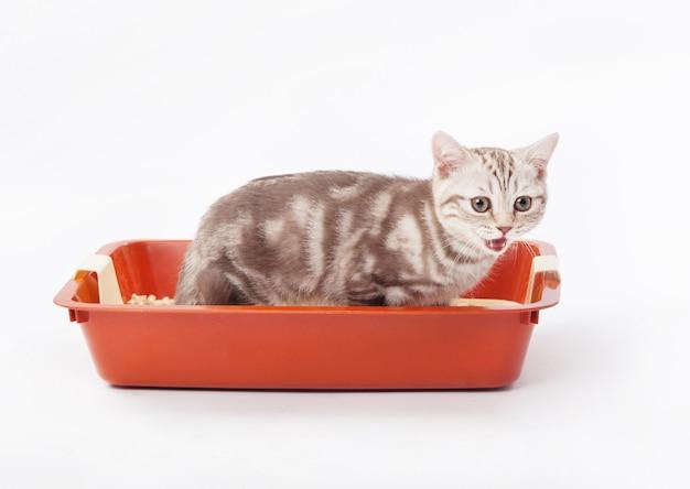 빨간 플라스틱 쓰레기 옆에 작은 스코틀랜드 고양이