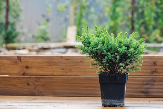 A small seedling of a decorative spruce in a pot on a wooden bench prepared for planting in a summer cottage
