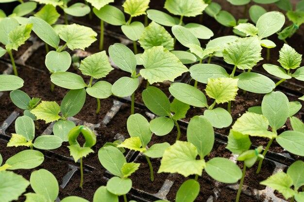 유기 식물 야채와 함께 재배 녹색 보육을 위해 플라스틱 트레이에서 자라는 작은 묘목
