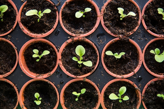 Small seedlings in black earth in brown pots on the table.