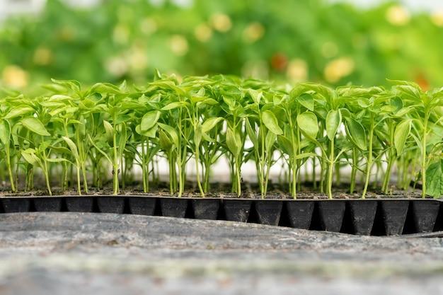 温室の庭で育つ小さな苗