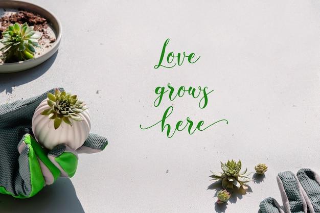 Маленькие суккуленты sempervivum и рука в садовой перчатке