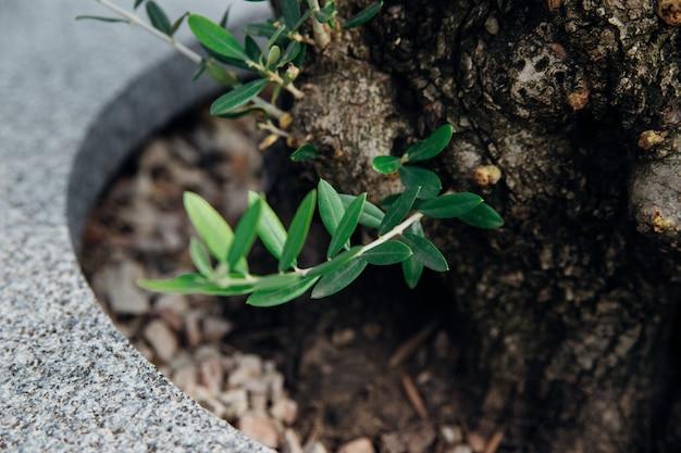 オリーブの木の小さな芽。新しい緑の枝。薄い長い葉。木は冬の後に回復しています。