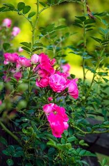 야외 정원에서 개화하는 동안 분홍색의 작은 관목 장미