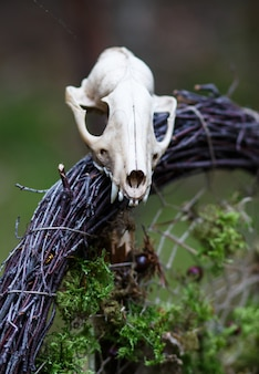 A small skull of an animal on a wreath of branches and moss