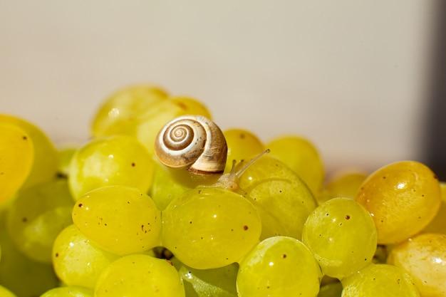 Маленькая улитка ползет по винограду