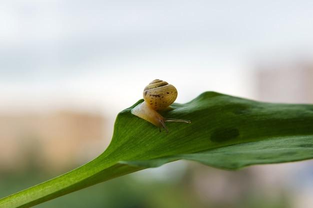 흐릿한 아침 배경에서 녹색 잎에서 무언가를 찾고 있는 작은 달팽이