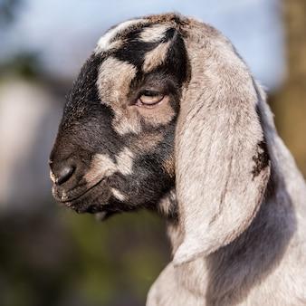 小さな南アフリカのボーア種のヤギのクローズアップの肖像画