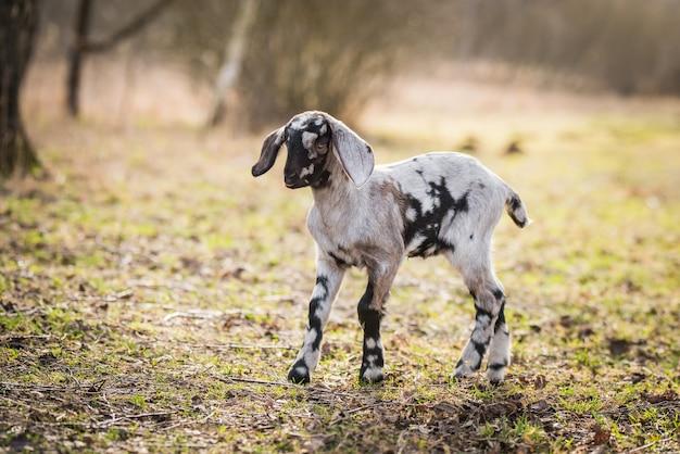 Маленький южноафриканский бурский козел, делающий портрет на природе
