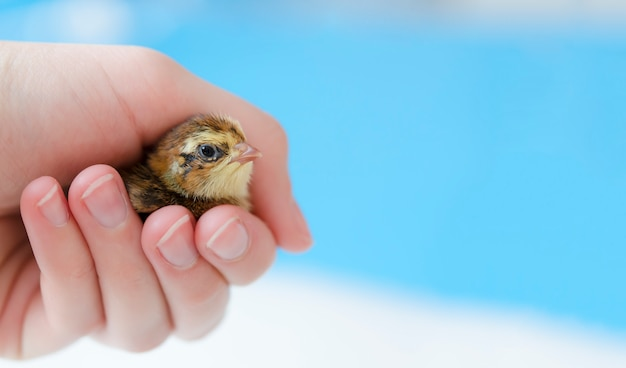 A small spotted quail chick in his hand on a blue background