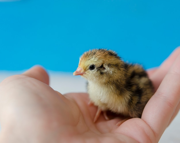 A small spotted quail chick in his hand