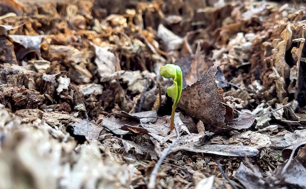 Small sprouting plant in spring among old foliage in the forest.