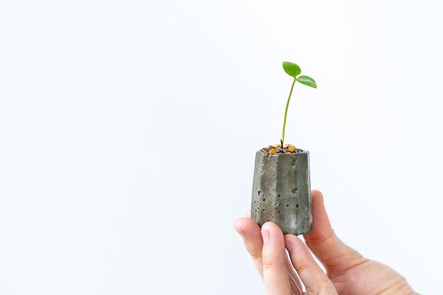 Маленькая stephania erecta craib в поцарапанном бетонном горшке крупным планом, женщина с горшком stephania erecta craib на руке крупным планом