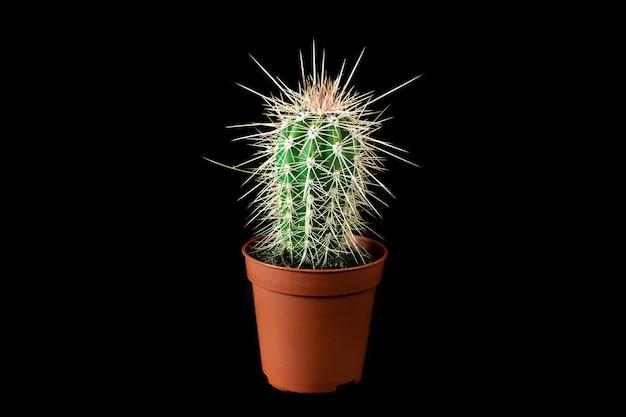 黒の背景に植木鉢の小さなstetsoniacoryneサボテン。